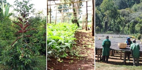 Ethiopia Yirgacheffe Single Origin Coffee